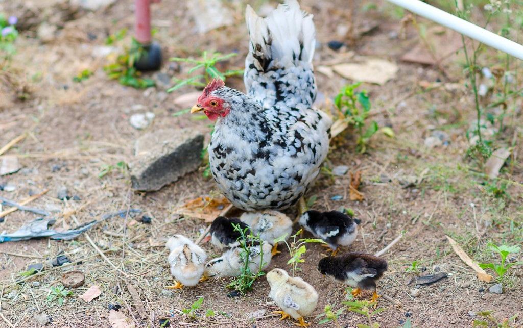 Разведение бентамки и уход за цыплятами