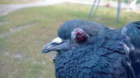 Болезни глаз у голубей