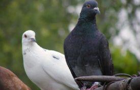 Какие болезни переносят голуби