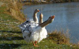 Породы гусей