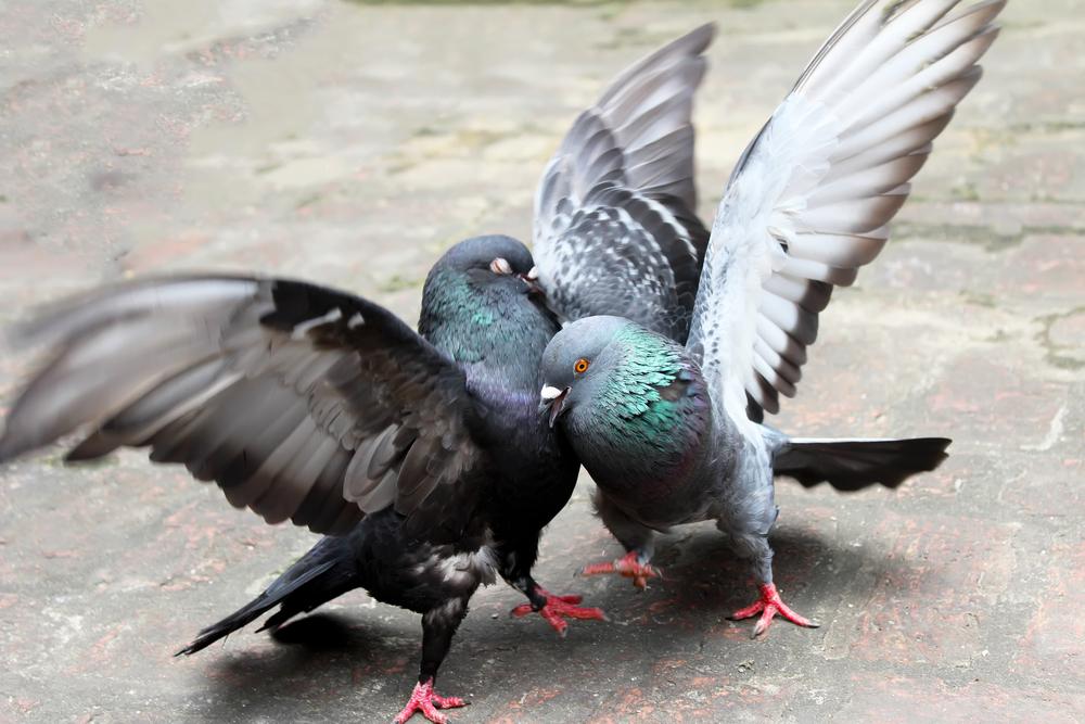 Наступление половой зрелости голубей
