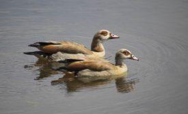 Египетские гуси