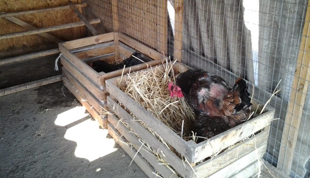 Особенности устройства простейшего гнезда для несушек