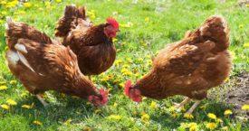 Чем кормить кур несушек летом