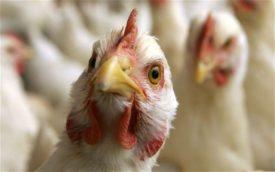 Формы птичьего гриппа у кур