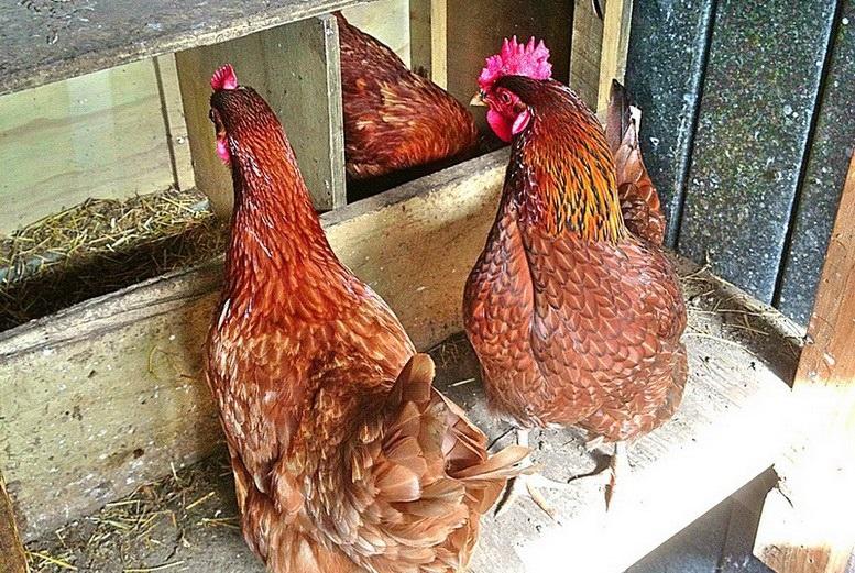 Сколько яиц может снести курочка