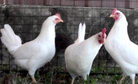 Сравнительные показатели яйценоскости