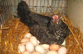 Продолжительность периода яйценоскости у домашних кур