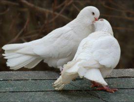 Брачные игры птиц