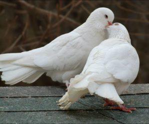 Как размножаются голуби: рекомендации опытных заводчиков по проведению процедуры