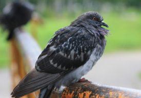 Паратиф голубей или сальмонеллез