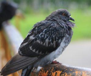 Все о заболеваниях голубей: симптомы, методы лечения и профилактики
