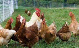 Нужен ли петух, чтобы курица неслась