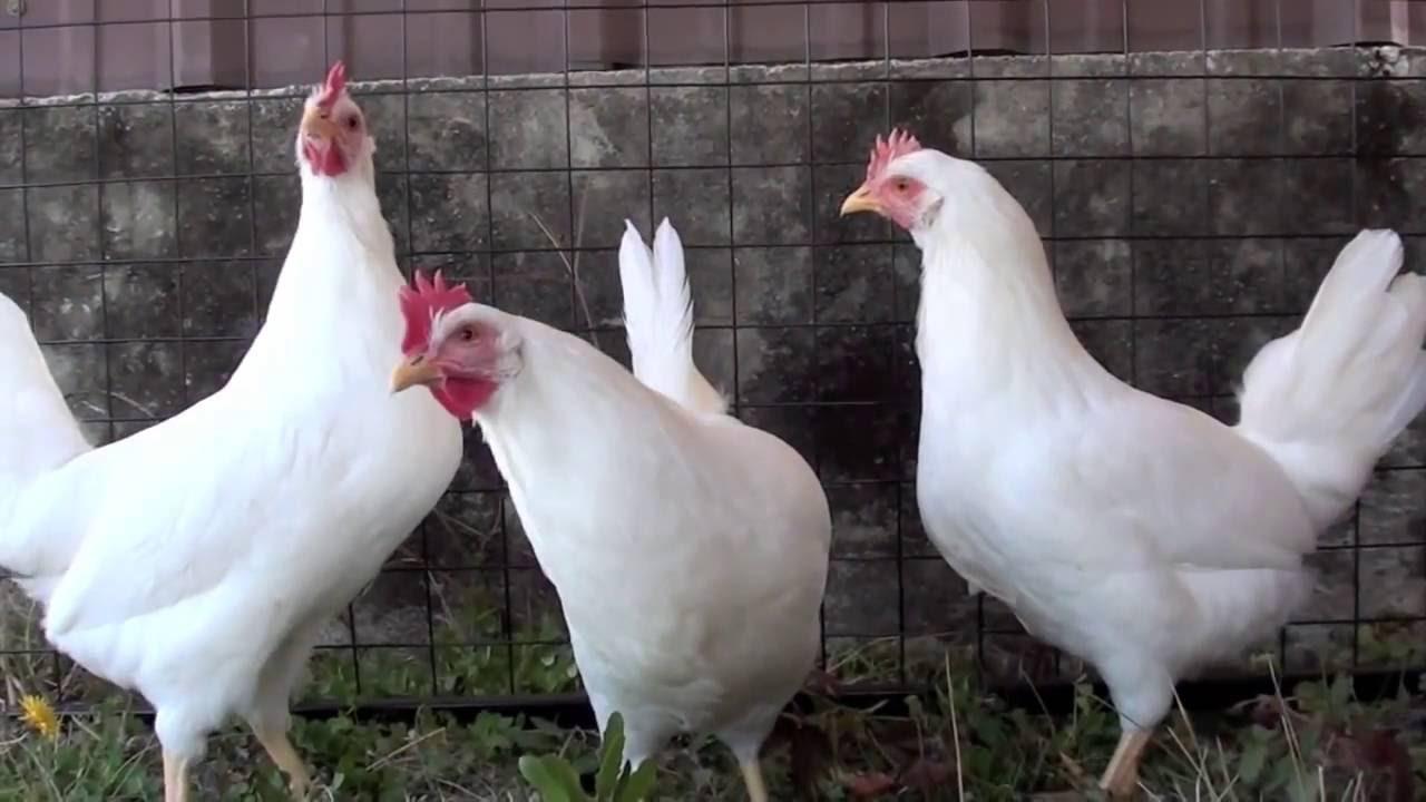 Выбор породы кур