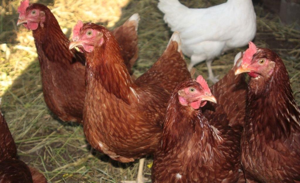 Как влияет порода на яйценоскость