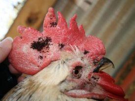 Куриные блохи и вши