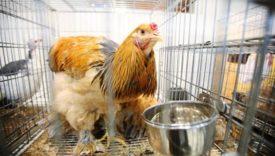 Что делать и как помочь курице