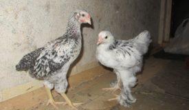 Определение пола у подросших цыплят