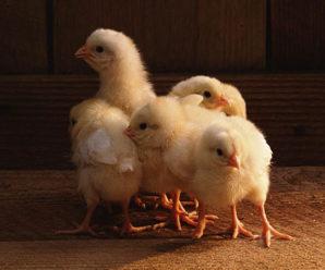 Цыплята клюют друг друга до крови: что делать и как предотвратить расклев