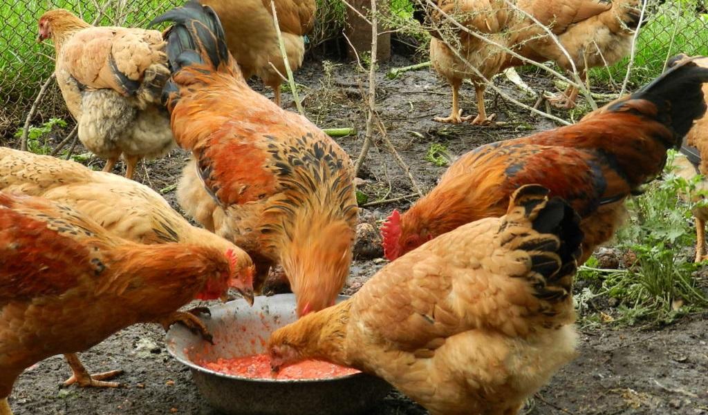 Нормы кормления кур несушек в домашних условиях