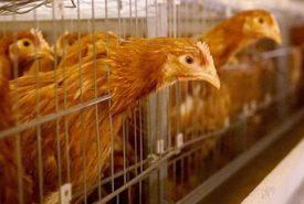 Четыре стадии заболевания птичьим гриппом