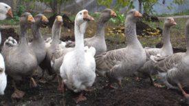 Тульские бойцовские гуси