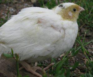 Белый техасский перепел: особенности породы и ее разведение