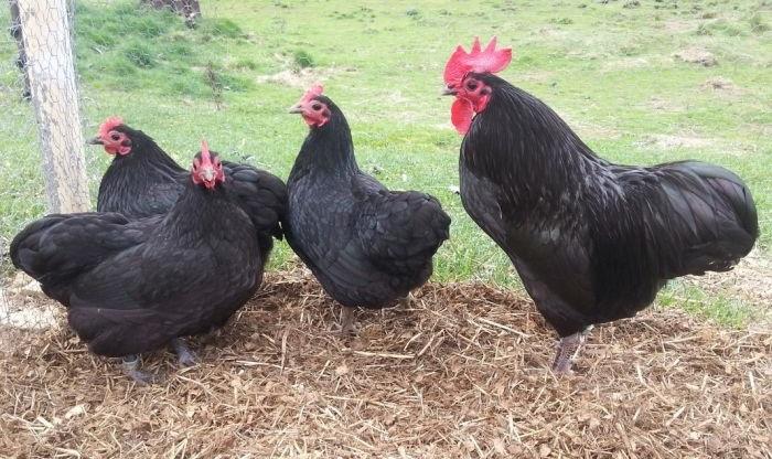Московская черная порода кур