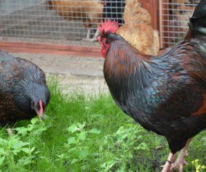 Барневельдер – голландская красавица мясо-яичного направления
