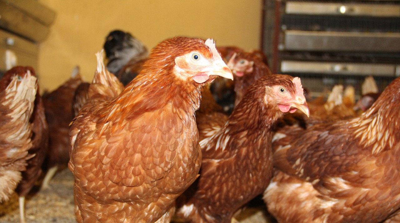 Прерывистый режим освещения при выращивании хайсекс коричневый
