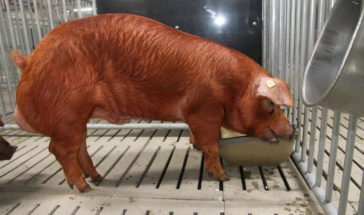 Где приобрести свинку Дюрок