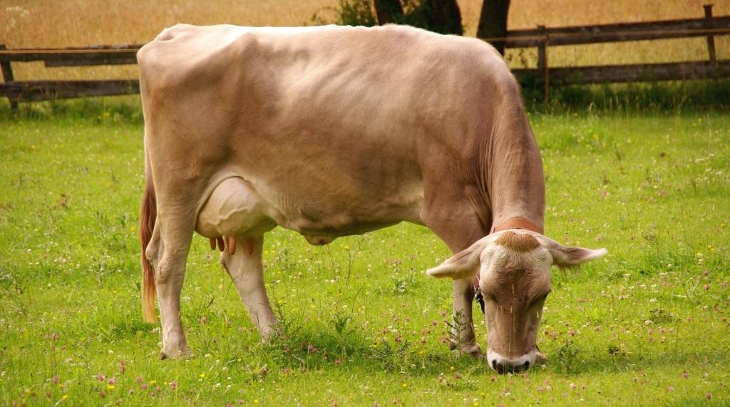 Содержание и уход за швицкой породой коров