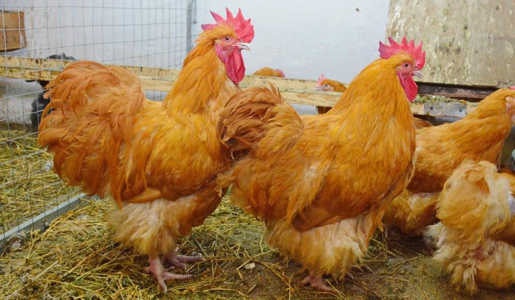 Особенности содержания и ухода за птицей