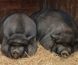 Вьетнамские вислобрюхие свиньи: содержание, кормление, уход
