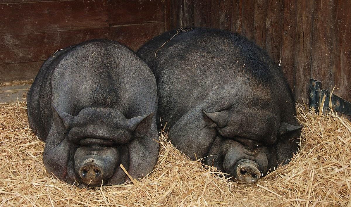Содержание вьетнамских вислобрюхих свиней