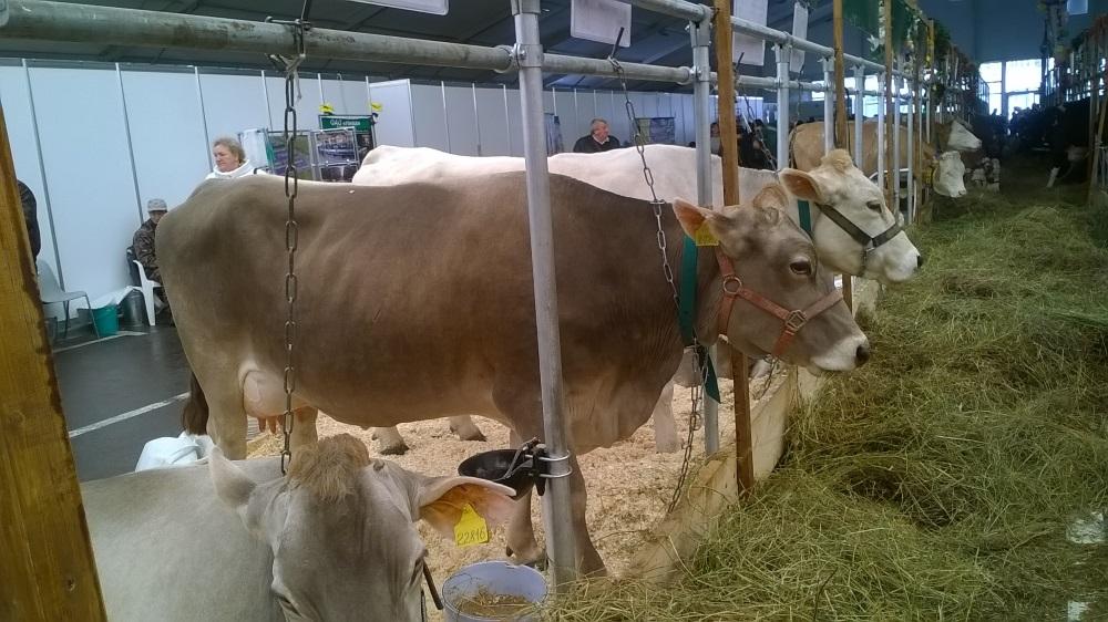 Содержание швицких коров