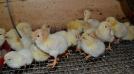 Разведение породы и выращивание цыплят