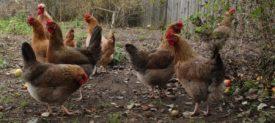 Ленинградская золотисто серая порода кур