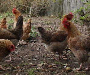 Ленинградская золотисто серая порода кур – продуктивная птица отечественной селекции