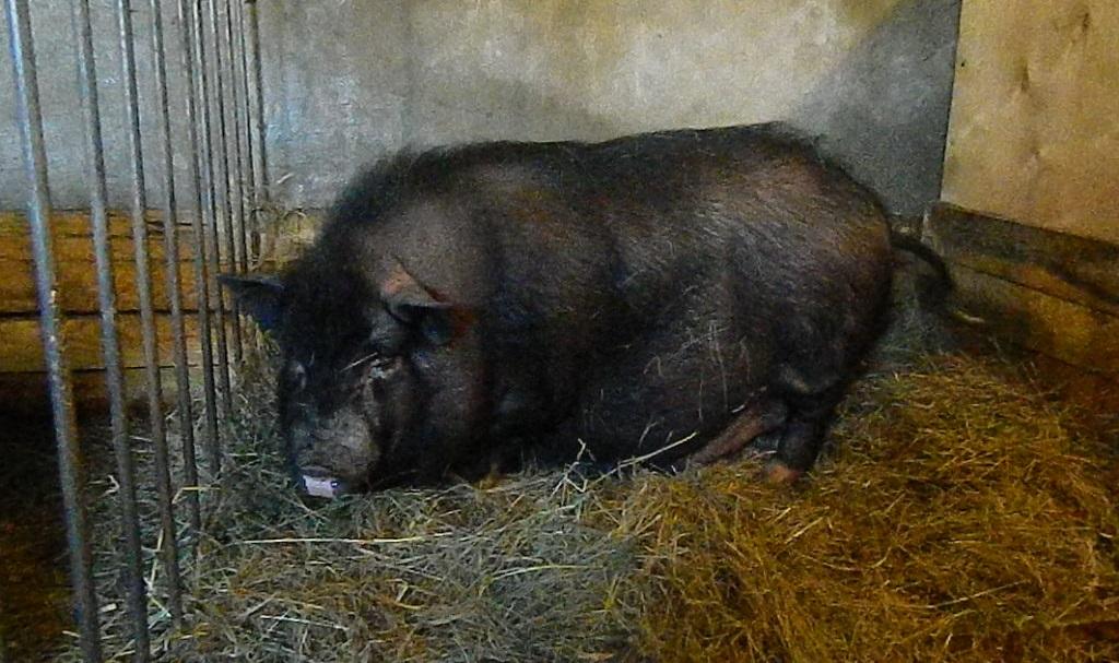 Развод и выращивание вьетнамских вислобрюхих свиней