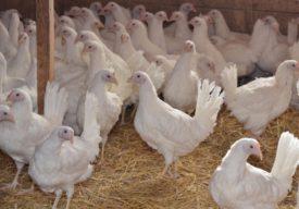 Как отличить курицу от петуха породы леггорн
