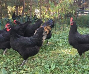 Московская черная порода кур – популярная птица отечественной селекции