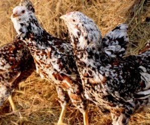 Орловские куры: особенности содержания и разведения русской породы