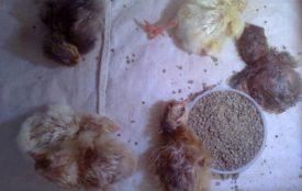 Кормление только вылупившихся цыплят