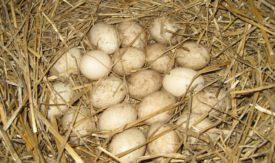 Сколько яиц несет индоутка