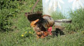 Как петух оплодотворяет кур