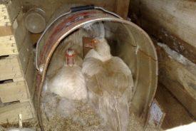 Длительность высиживания яиц