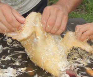 Как быстро и качественно ощипать тушку курицы в домашних условиях