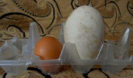 Как решить проблему двухжелтковых яиц