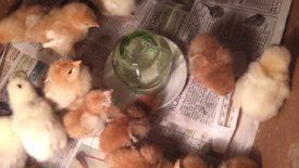 Как применять препарат для птенцов